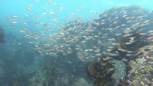 vídeos de stock, filmes e b-roll de diver point of view underwater shot; follow shot of a school of fish swimming back and forth between large rocks. - ponto de vista de mergulhador