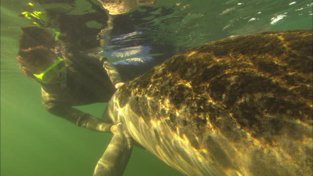 Diver snorkeller with Manatee swimming, close up. Crystal River, Florida, USA