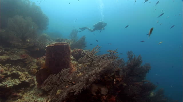 stockvideo's en b-roll-footage met ms, diver swimming over coral reef, corals in foreground, saint lucia - kleine groep dieren