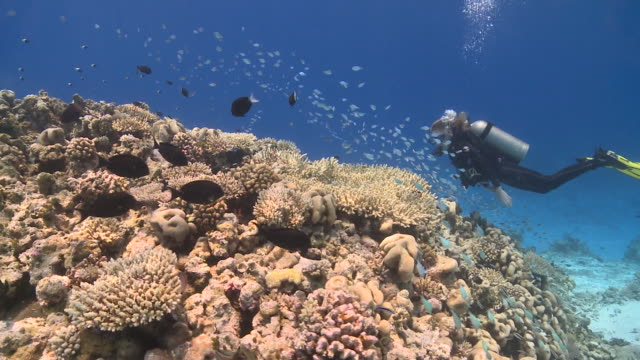 Diver swimming over reef past schools of fishes, Vaavu Atoll, The Maldives.