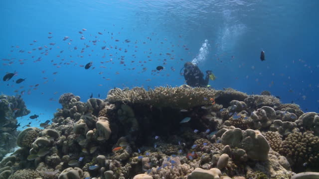 Diver swimming over reef past schools of fishes, Vaavu Atoll, The Maldives