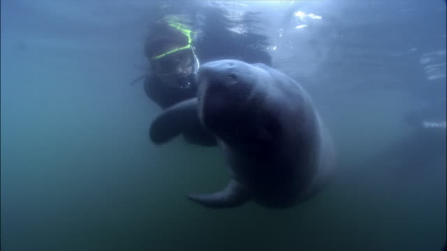 ms, diver swimming with manatee, florida, usa  - rundschwanzseekuh stock-videos und b-roll-filmmaterial