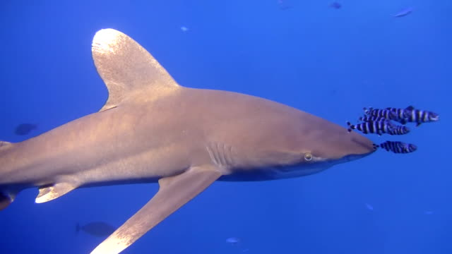 hd: diver swimming with shark - next to stock videos and b-roll footage