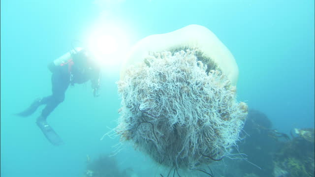 a diver swims around a nomura's jellyfish in the yellow sea. - qualle stock-videos und b-roll-filmmaterial