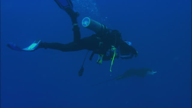 a diver swims beside an eagle ray. - eagle ray stock videos and b-roll footage