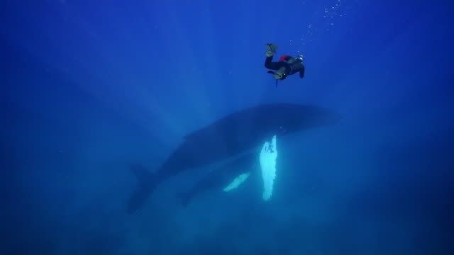 a diver swims close to a humpback whale with calf - whale stock videos & royalty-free footage