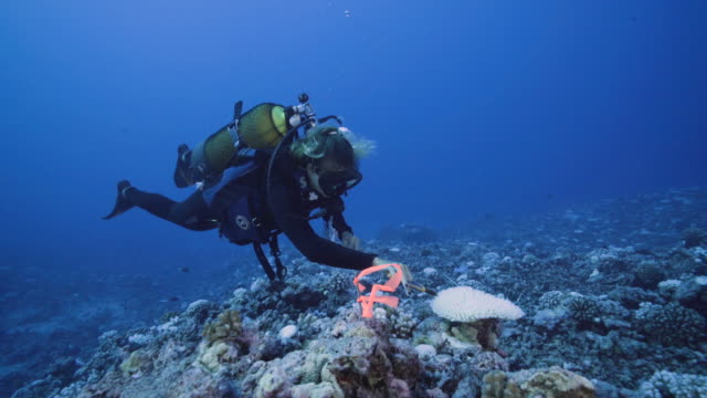 a diver takes a cutting from a coral suffering from major bleaching on the coral reefs of the society islands on may 9 2019 in moorea french... - coral stock videos & royalty-free footage