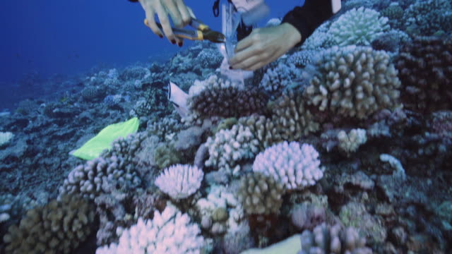 vídeos de stock, filmes e b-roll de a diver takes a cutting from a coral suffering from major bleaching on the coral reefs of the society islands on may 9 2019 in moorea french... - territórios ultramarinos franceses