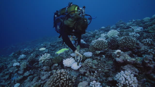 diver takes a cutting from a coral suffering from major bleaching on the coral reefs of the society islands on may 9, 2019 in moorea, french... - underwater stock videos & royalty-free footage