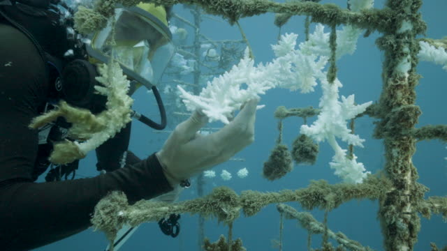 diver takes notes at one of the coral nurseries on the coral reefs of the society islands in french polynesia. on may 9, 2019 in moorea, french... - coral stock videos & royalty-free footage
