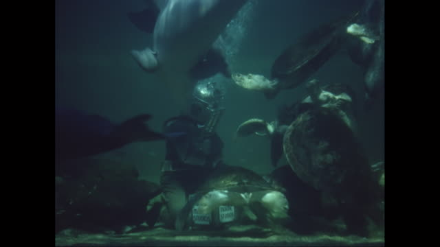 WS Diver underwater standing on seabed floor feeding turtles and dolphins / United States
