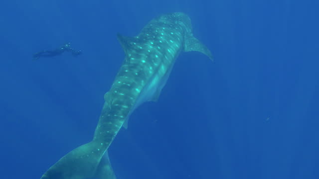 vidéos et rushes de diver using an underwater scooter approaching a large whale shark, indian ocean, sri lanka. - nourrir