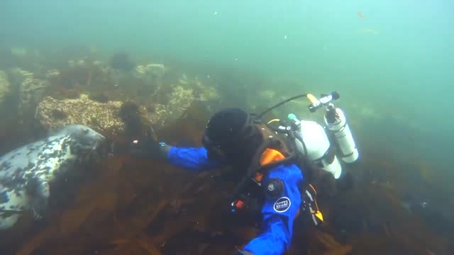 diver who regularly swims with seals in waters off the farne islands, close to england's northeast coast, shared footage of one of his underwater... - undersea stock videos & royalty-free footage