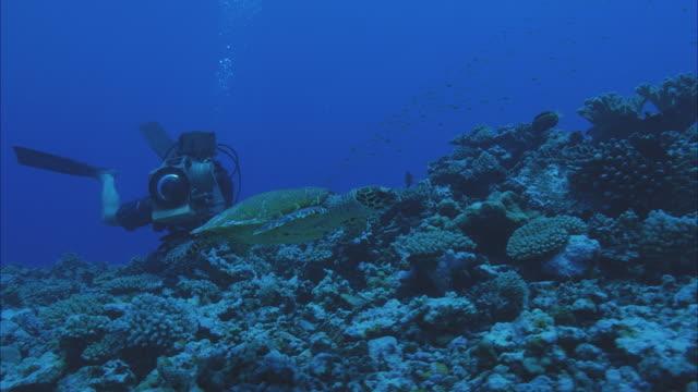 slo mo ws ms diver with camera following green sea turtle (chelonia mydas) swimming around coral reef / moorea, tahiti, french polynesia - tahiti stock videos and b-roll footage