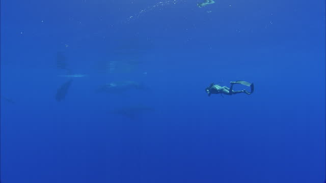 vidéos et rushes de slo mo ws diver with camera following group of humpback whales (megaptera novaeangliae) swimming in ocean / moorea, tahiti, french polynesia - tahiti