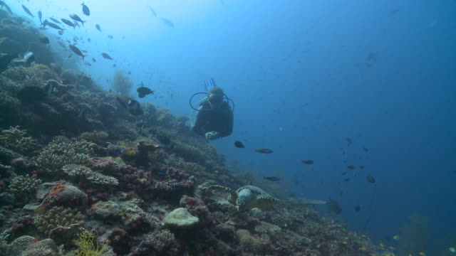 diver with hawksbill turtle (eretmochelys imbricata) over coral reef with schools of reef fishes, baa atoll, the maldives - aqualung diving equipment stock videos & royalty-free footage