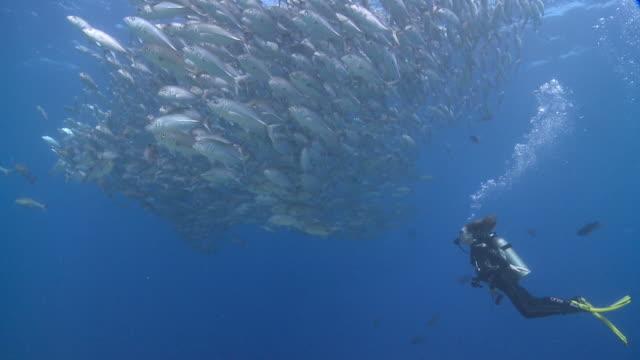 Diver with school of Bigeye Jacks (Caranx sexfasciatus) in blue ocean, Vaavu Atoll, The Maldives.