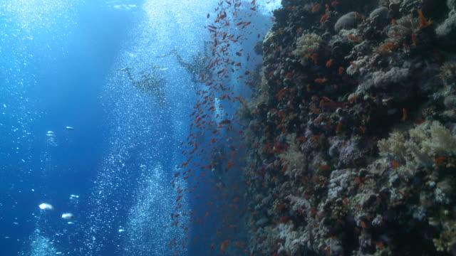 Divers (unrecognizable) blow bubbles near coral outcrop with anthias fish (Anthias squamipinnis)