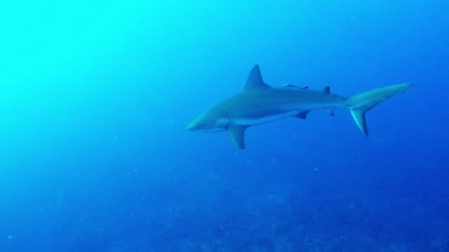 divers enjoyed an ordinary dive in belize off the island of san pedro until the sudden and unexpected appearance of eight large caribbean reef sharks... - 2 3 years stock videos & royalty-free footage