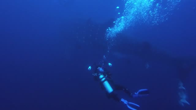 divers in the galapagos islands had the incredible experience of meeting a massive whale shark up close. the giant beast is almost 50 feet long and... - galapagos shark stock videos & royalty-free footage
