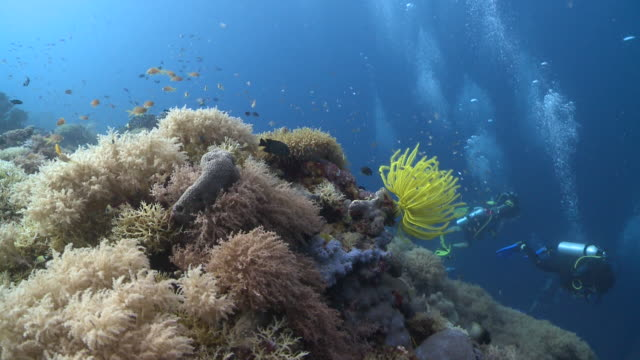 Divers near yellow feather star and coral, Southern Visayas, Philippines