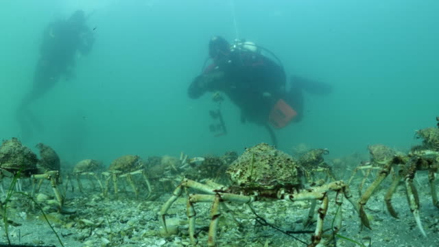 Divers view Spider Crab Migration