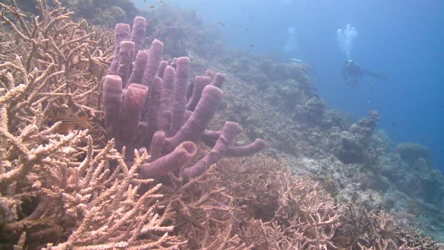 vídeos y material grabado en eventos de stock de divers/scientists viewing reef with large purple sponge (?) prominent  - esponja