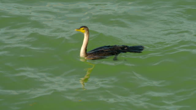 Diving Double-Crested Cormorant
