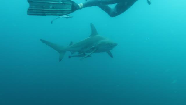 vídeos de stock e filmes b-roll de diving with blacktip sharks - tubarão galha preta