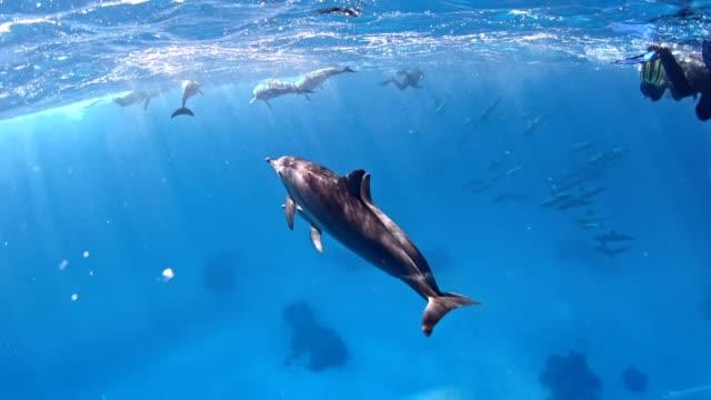 tauchen mit delfinen. unterwasserlandschaft - wal oder delfingruppe stock-videos und b-roll-filmmaterial