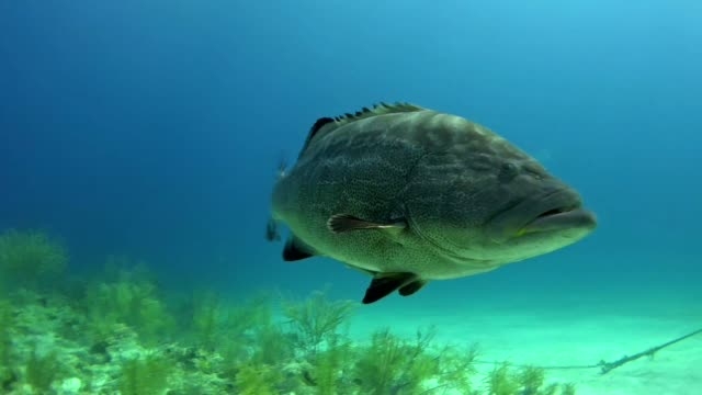 diving with grouper fish. underwater scenery - grouper stock videos & royalty-free footage