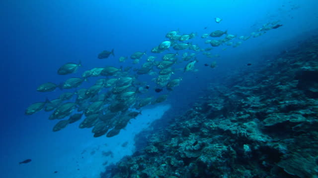 Diving with school of fish, reef in the Pacific Ocean