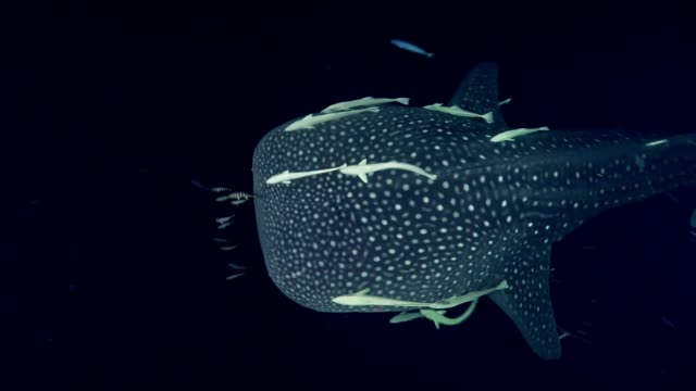 Diving with whale shark. Underwater scenery