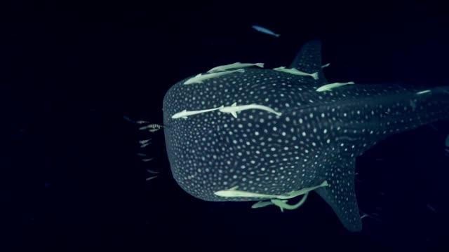 tauchen mit walhai. unterwasserlandschaft - tiefe stock-videos und b-roll-filmmaterial