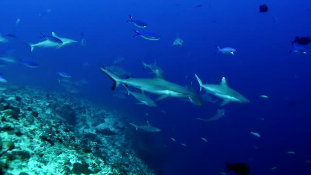 diving with whitetip reef sharks. underwater scenery - whitetip reef shark stock videos & royalty-free footage
