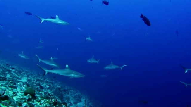 diving with whitetip reef sharks. underwater scenery - saltwater fish stock videos & royalty-free footage