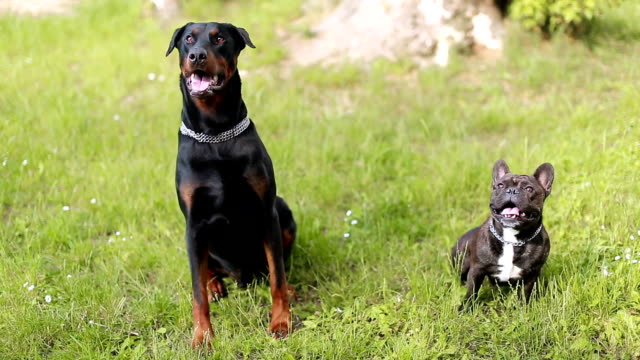 doberman pinscher and french bulldog training in dog park, chasing ball - two animals stock videos and b-roll footage