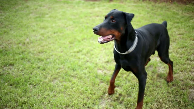 doberman pinscher playing in the yard - pursuit sports competition format stock videos and b-roll footage