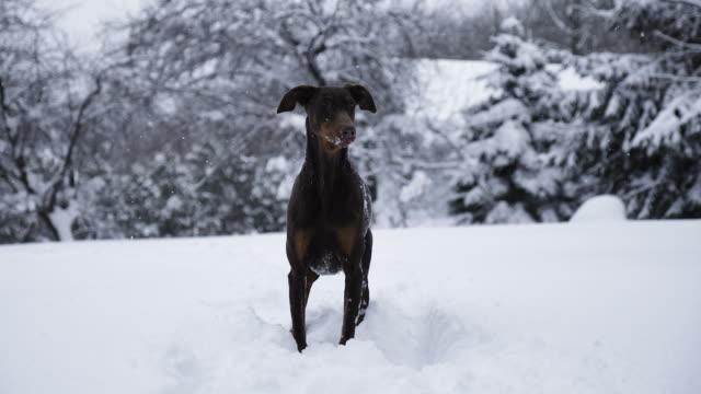 stockvideo's en b-roll-footage met doberman pinscher plays and runs through snow, slow motion - dog run
