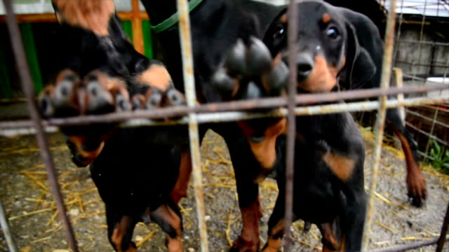 doberman puppies - protection stock videos & royalty-free footage
