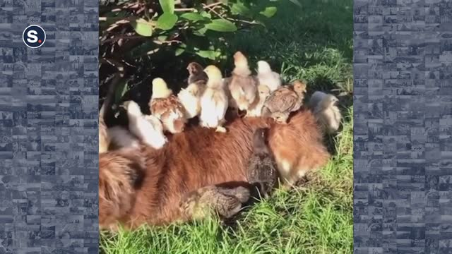 docile dog found herself under siege by a group of chicks who decided she made a pretty cosy resting spot at a farm in new south wales. footage by... - small group of animals stock videos & royalty-free footage