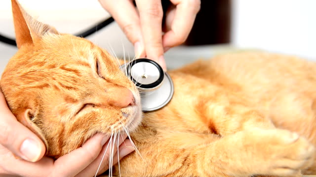 medico esaminando un gatto - stetoscopio video stock e b–roll