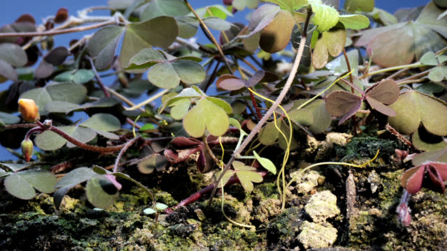 """dodder parasitic plant, timelapse"" - protozoan stock videos and b-roll footage"
