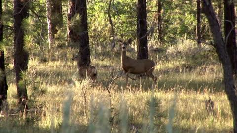 vídeos de stock, filmes e b-roll de a doe and her fawn run though a forest. - corça