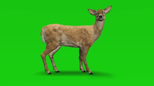 doe idle on green screen. the concept of animal, wildlife, games, back to school, 3d animation, short video, film, cartoon, organic, chroma key, character animation, design element, loopable - deer stock videos & royalty-free footage