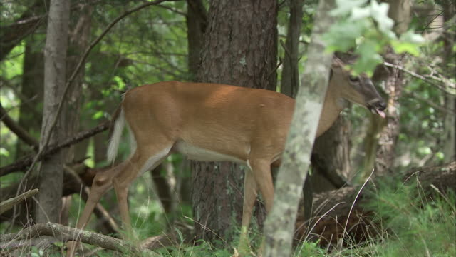 a doe leads its fawn through a forest in the appalachian mountains. - 子鹿点の映像素材/bロール
