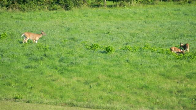 doe omvårdnad fawn i fältet - växtätare bildbanksvideor och videomaterial från bakom kulisserna