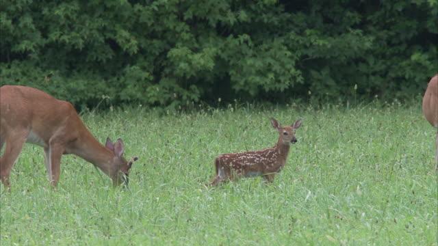 does and a fawn graze in a grassy meadow. - femmina di daino video stock e b–roll
