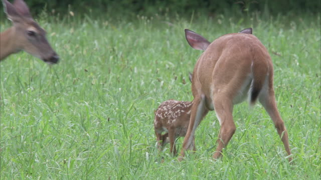 does play with a fawn that prances around a grassy meadow. - fawn stock videos & royalty-free footage