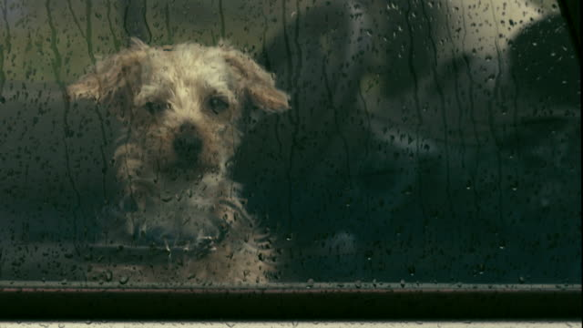 vídeos de stock e filmes b-roll de dog abandoned in a car, dog enclosed in a car, rain on the window - anticipation